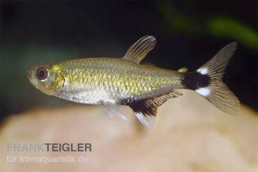Augenflecksalmler, Aphyocharax paraguayensis (Minifisch)