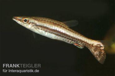 Spitzmaul-Ziersalmler, Nannostomus eques