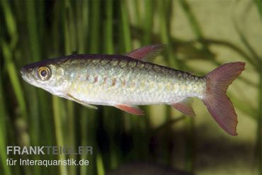 Glanzsalmler, Chalceus macrolepidotus