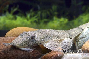 Nasenharnischwels, Hemiodontichtys acipensernius