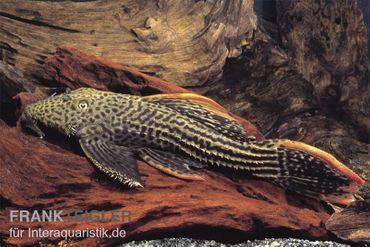 Rotflossen-Kaktuswels, L 25, Pseudacanthicus cf serratus NATURFARBEN