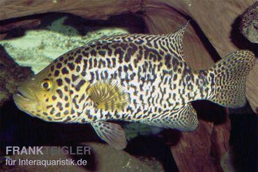 Jaguarcichlide, Parachromis managuensis