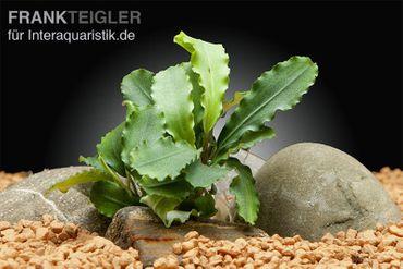 Bucephalandra spec. Wavy Green Leaf – Bild 1