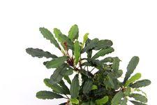 Bucephalandra spec. Wavy Green Leaf – Bild 5