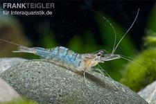 Blue Banded Shrimp, Macrobrachium mirabile – Bild 2
