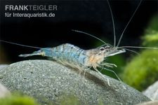 Blue Banded Shrimp, Macrobrachium mirabile – Bild 1