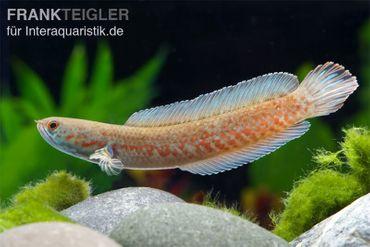 Neonblauer Zwergschlangenkopf, Channa andrao – Bild 2