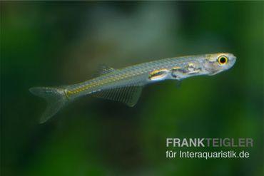 Feenbärbling, Danionella priapus (Minifisch)