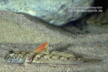 Zwergschlammspringer, Periophthalmus novemradiatus (Brackwasser, Terrarium)