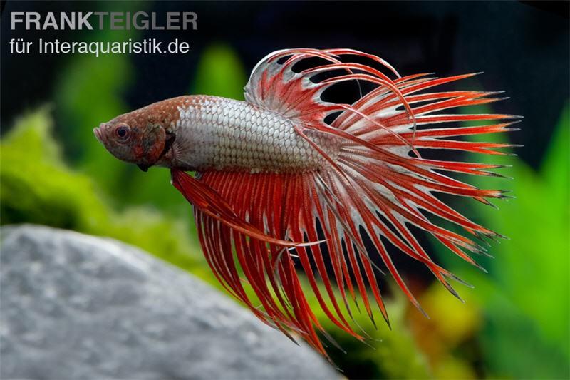 Crown tail kampffisch red dragon m nnchen betta for Kampffisch futter