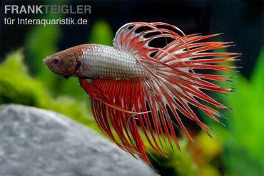 Crown Tail Kampffisch Red Dragon, Männchen, Betta splendens