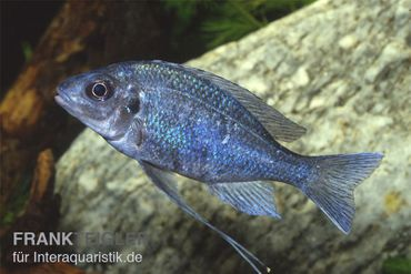Blauer Fadenmaulbrüter, Ophthalmotilapia ventralis