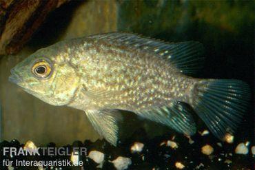 Perlcichlide, Herichthys cyanoguttatus