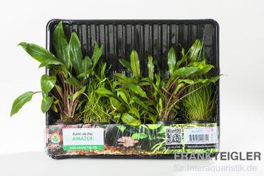 Aquarienpflanzen-Set Amazon, 5 Töpfe – Bild 2
