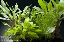 Aquarienpflanzen-Set Amazon, 5 Töpfe – Bild 1
