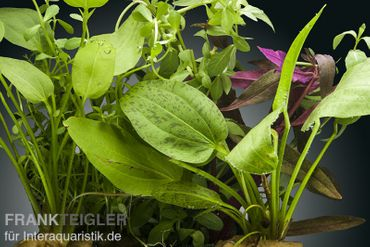 Aquarienpflanzen-Set Kinabalu, 5 Töpfe