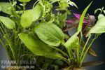 Aquarienpflanzen-Set Kinabalu, 5 Töpfe  001