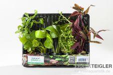 Aquarienpflanzen-Set Kinabalu, 5 Töpfe  – Bild 2