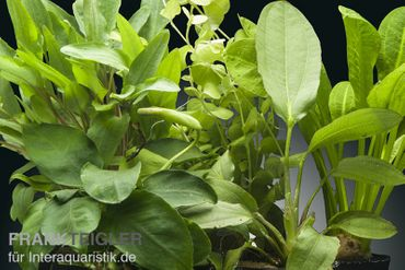 Aquarienpflanzen-Set Daintree, 5 Töpfe – Bild 1