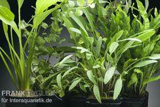 Aquarienpflanzen-Set Tongass, 5 Töpfe – Bild 1