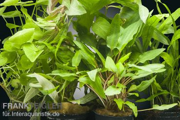 Aquarienpflanzen-Set Valdivian, 5 Töpfe  – Bild 1