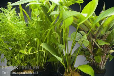 Aquarienpflanzen-Set Congo, 5 Töpfe