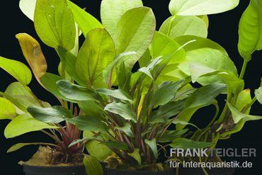 Aquarienpflanzen-Set Siriharaja, 4 Töpfe