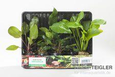 Aquarienpflanzen-Set Siriharaja, 4 Töpfe  – Bild 2
