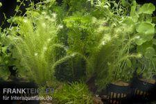 """Aquarienpflanzen-Sortiment """"Kaltwasser"""" für 100-120 cm Aquarium"""