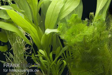 """Aquarienpflanzen-Sortiment """"Amazonas"""" für 60 cm Aquarium"""