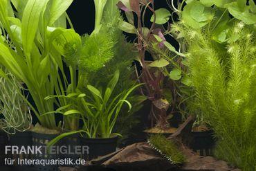 """Aquarienpflanzen-Sortiment """"Amazonas"""" für 80 cm Aquarium"""