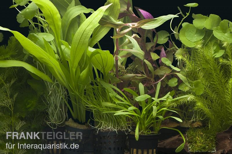 Aquarienpflanzen Sortiment Amazonas Fur 100 120 Cm Aquarium