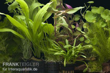 """Aquarienpflanzen-Sortiment """"Amazonas"""" für 100-120 cm Aquarium"""