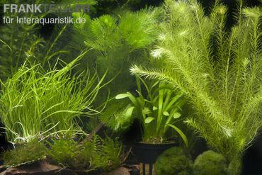 """Aquarienpflanzen-Sortiment """"Garnelenaquarium"""" für 80 cm Aquarium"""