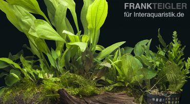"""Aquarienpflanzen-Sortiment """"Barsch"""" 100-120 cm Aquarium"""