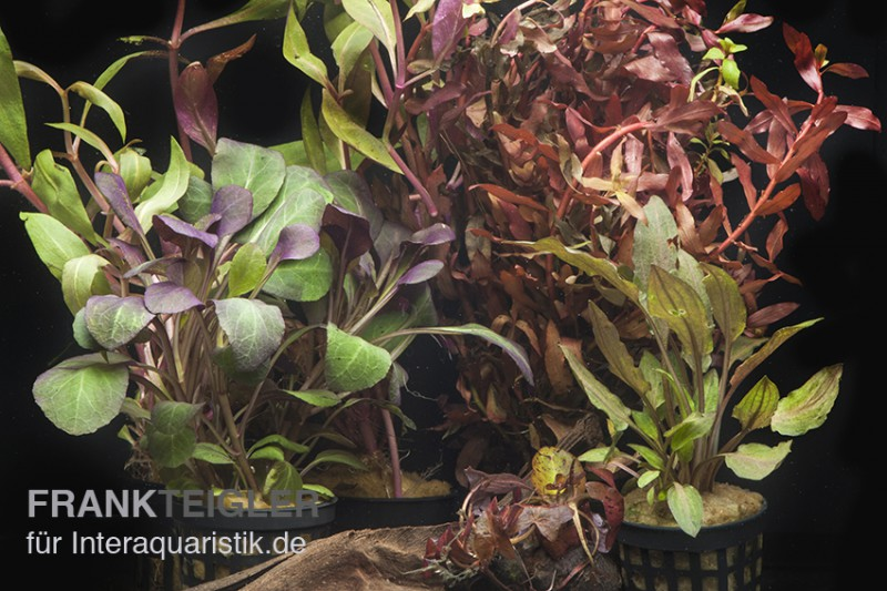 Aquarienpflanzen sortiment rot f r 60 cm aquarium for Rote dekosteine