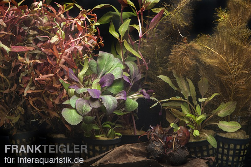 Aquarienpflanzen sortiment rot f r 80 cm aquarium for Rote dekosteine