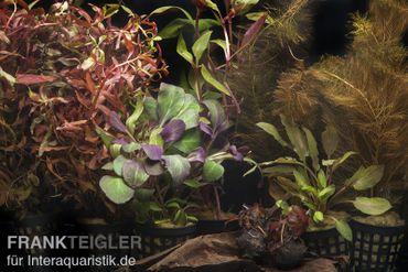 """Aquarienpflanzen-Sortiment """"Rot"""" für 80 cm Aquarium"""