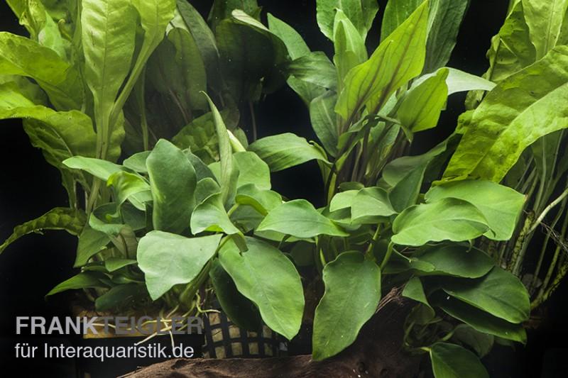 Aquarienpflanzen Sortiment Schatten Fur 60 Cm Aquarium