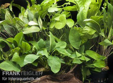 "Aquarienpflanzen-Sortiment ""Schatten"" für 80 cm Aquarium"