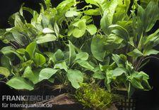 "Aquarienpflanzen-Sortiment ""Schatten"" für 100-120 cm Aquarium"