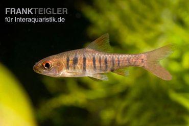 Blaustrichbarbe, Barbus barilioides/fasciolatus DNZ