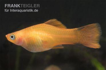 Oranger Schwertträger, Xiphophorus helleri marigold