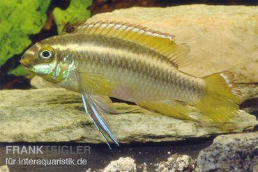Gelber Purpurprachtbarsch, Pelvicachromis pulcher yellow
