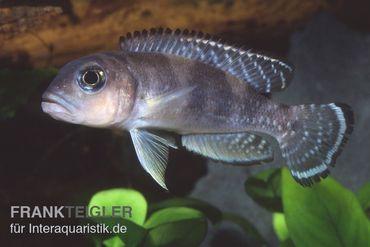 Schneckenbuntbarsch, Lamprologus ornatipinnis