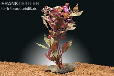 Rosanerviges Papageienblatt, Alternanthera reineckii Red Ruby, Topf