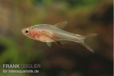 Axelrods Bärbling rot, Rasbora axelrodi (Minifisch) – Bild 1