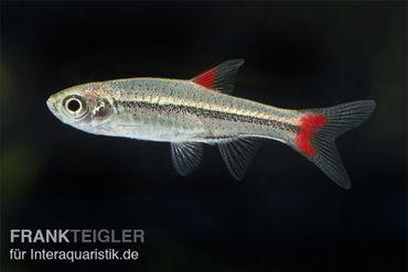 Rotflossen Zwergbärbling, Rasbora rubrodorsalis (Minifisch) – Bild 1