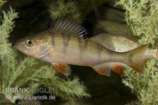 Europäischer Flußbarsch, Perca fluviatilis (Kaltwasser)