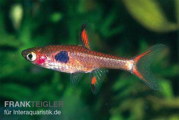 Goldfleck-Zwergbärbling, Boraras merah (Minifisch)